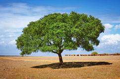 Cattle and Tree Stock Image