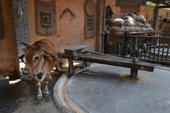 Cattle. Is turning the Mill in countryside of china.it is an old way to make food for farmer.and it is quite rare now Royalty Free Stock Photography