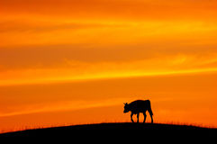 Cattle, twilight Stock Photography