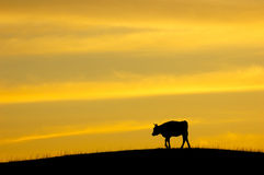 Cattle, twilight Royalty Free Stock Photos