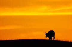 Cattle, twilight Royalty Free Stock Image