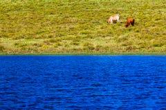 Cattle Two Lake Dam Farm Royalty Free Stock Image