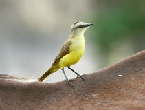 Cattle Tyrant(bird) sits Horseback. A yellow flycatcher sits on a horses back,gray and green background,Argentina Stock Image