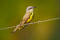 Cattle tyrant, Machetornis rixosa, yellow and brown bird with clear background, Pantanal, Brazil Stock Photography