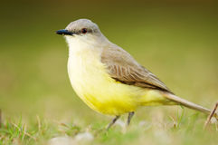 Cattle Tyrant (Machetornis rixosus) Stock Photo