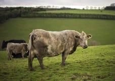 Cattle. UK Stock Photo