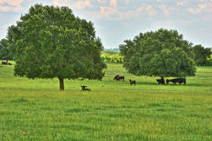 Cattle Under Shade Trees Royalty Free Stock Image