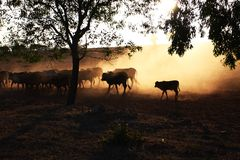 Cattle under the sun Royalty Free Stock Photo