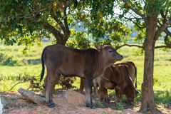 Cattle under the tree stock images