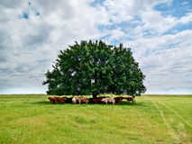Cattle Under a Tree Stock Photography