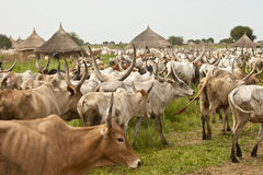 Cattle and Village in South Sudan Stock Photos