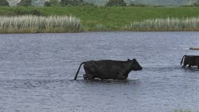 Cattle wading in a Pool. Small herd of cattle wading across a small pool stock footage