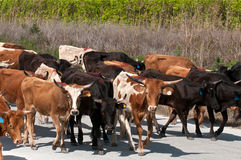 Cattle walking Royalty Free Stock Photos