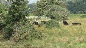 Cattle walking across grassy field stock video footage