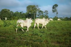 Cattle walking on the grass stock photography