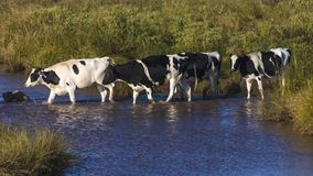 Cattle walking through water stream outside of Amarillo Texas stock image