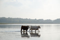 Cattle walking in water Royalty Free Stock Images