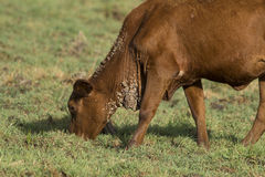 Cattle warts on a young heifer. Royalty Free Stock Photography