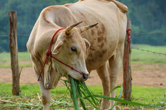 Cattle was eating in field Royalty Free Stock Photos