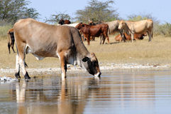 Cattle in water. Cattle standing in a pond Stock Photos