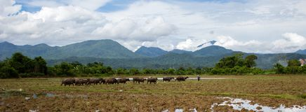 A cattle of water buffalo is walking in the rice field banner royalty free stock photo