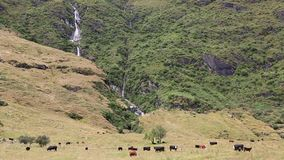 Cattle and waterfalls stock video footage