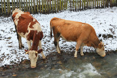 Cattle watering Royalty Free Stock Photo