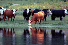Cattle Watering Stock Images