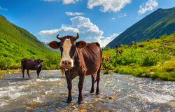 Cattle on the watering in the mountains Royalty Free Stock Images