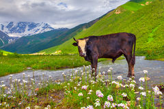 Cattle on the watering in the mountains. Stock Photo