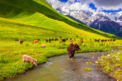 Cattle on the watering in the mountains. Royalty Free Stock Images