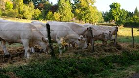 Cattle stock footage