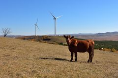 The cattle and the wind power generator on the grassland stock photo