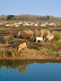 Cattle in winter Royalty Free Stock Images