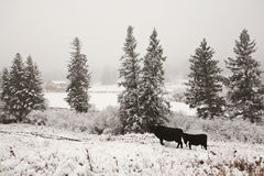 Cattle in winter pasture. Snow Canada Stock Photography
