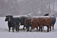 Cattle during a winter storm Stock Images