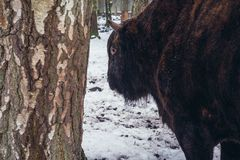 Cattle and wisent hybrid. Zubron - hybrid of cattle and wisent in show reserve of Bialowieza Forest National Park in Poland Royalty Free Stock Photo