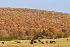 Cattle With Fall Background Royalty Free Stock Photography