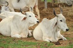 Cattle in Yards Stock Photo