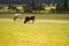 Cattle in Yards Royalty Free Stock Photos