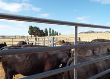 Cattle in the yards. A small mob of Black Angus cattle in stock yards Stock Photos