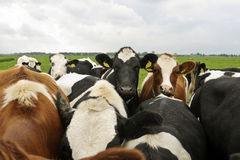 Cattle of young milk cows Stock Photography