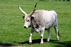 Cattle3 grigio Fotografie Stock Libere da Diritti