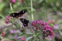 Cattleheart Butterflies. Two Cattleheart Butterflies are flying around in the garden Royalty Free Stock Photos