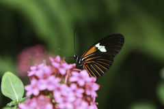 Cattleheart Butterfly. A Cattleheart Butterfly is slurping nectar from the flower Royalty Free Stock Images