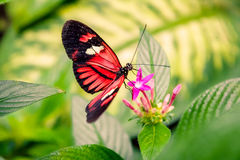 Cattleheart Butterfly. Black and Red Cattleheart Butterfly Parides iphidamas Royalty Free Stock Photos
