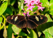 Cattleheart Butterfly Royalty Free Stock Images