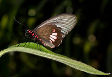 Cattleheart butterfly - Parides anchises Stock Images
