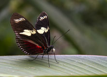 Cattleheart Butterfly Royalty Free Stock Image