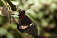 Cattleheart Butterfly profile Royalty Free Stock Image